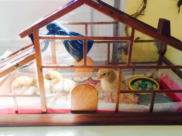 Han nascut els pollets!